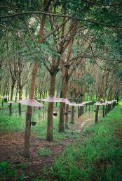 Rubber plantation with tree umbrellas