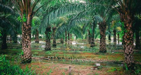 (coconut?) Palm grove