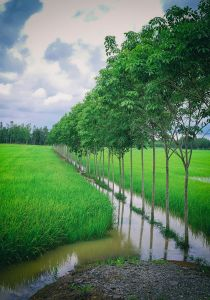 Lush rice fields