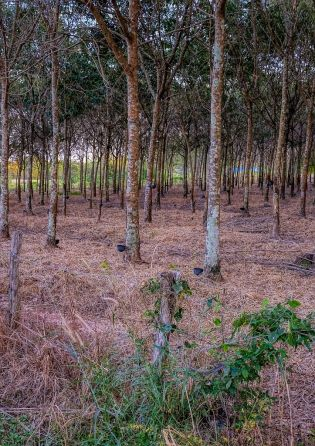 Rubber plantation a little further down the street.