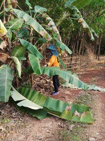 Gathering bananas and banana leaves.
