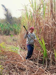 Gathering sugar cane.