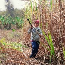 Gathering sugar cane.